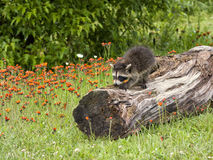 Raccoon in Orange wildflowers Stock Photos