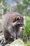 Raccoon ou Racoon (lotor do Procyon) imagem de stock