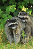 Raccoon parent and kid Stock Photography
