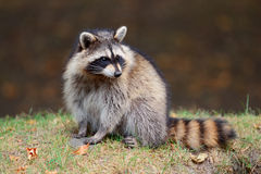 Raccoon. In park in Montreal Canada Stock Photo