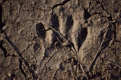 Raccoon Paw Print. You can see the texture of the dirt and imprint of a raccoon's paw print royalty free stock image