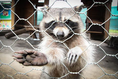 Raccoon. Paw the pull behind bars Royalty Free Stock Images