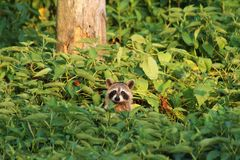 Racoon trying to see what is going on royalty free stock photos