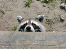 Raccoon Peeking Stock Photography