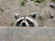 Raccoon Peeking. A raccoon is peeking over the edge stock photography