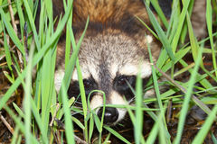 Raccoon Peering Through Vegetation Royalty Free Stock Images