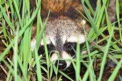 Raccoon Peering Through Vegetation Royalty Free Stock Images