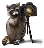 Raccoon-photographer photographing Royalty Free Stock Images
