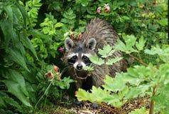 Raccoon in piante immagine stock libera da diritti