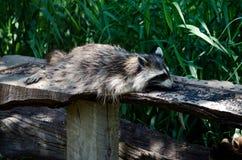 Raccoon pigro del mangiatore Immagine Stock Libera da Diritti