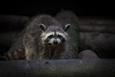 Raccoon in an pine forest Canada royalty free stock images