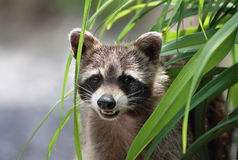 Raccoon in a plant Royalty Free Stock Photos