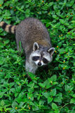 The raccoon play in the grass background Royalty Free Stock Photo