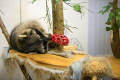 Raccoon playing with toy. Raccoon plays with his favorite toy Royalty Free Stock Image