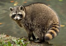 A raccoon plays outside on the water royalty free stock photos