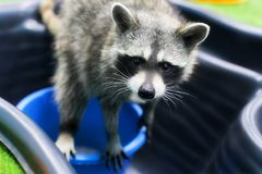 Raccoon plays with water. A raccoon plays with water Stock Images