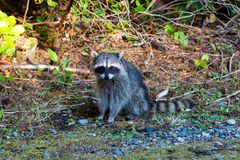 Raccoon at Point Defiance Park. Raccoon sitting pose at Point Defiance Park in Tacoma Washington royalty free stock image