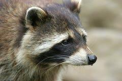 Raccoon portrait. Closeup of a raccoon face stock photography
