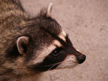 Raccoon portrait. One of five racoons living in Moscow zoo Royalty Free Stock Photo