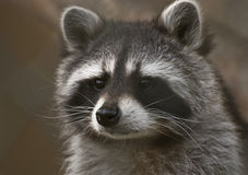 Raccoon portrait. Portrait of a raccoon (Procyon lotor Royalty Free Stock Images