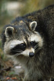 Raccoon Portrait Stock Image