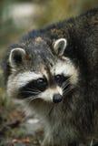 Raccoon Portrait. Close up portrait of a raccoon Stock Image