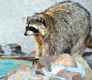 Raccoon Stock Photography