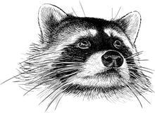 Raccoon portrait Stock Images
