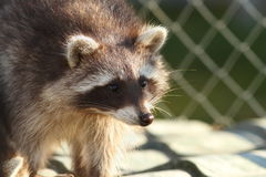Raccoon portrait at the zoo Stock Photography