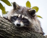 A raccoon resting on a tree branch and looking at the camera. royalty free stock photography