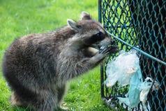 Raccoon a pranzo fotografie stock libere da diritti