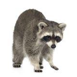 raccoon procyon 9 месяцев lotor Стоковое Изображение RF