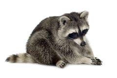 raccoon procyon 9 месяцев lotor Стоковые Фотографии RF