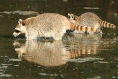 raccoon procyon lotor Стоковые Фото