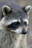 raccoon procyon lotor Стоковые Изображения RF