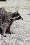 Raccoon (Procyon lotor) Stock Photos