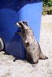 Raccoon (Procyon lotor) stock photography