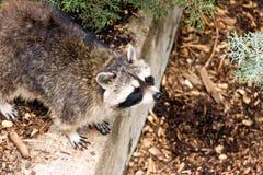 Raccoon (Procyon Lotor) Fotografia Stock Libera da Diritti
