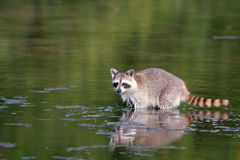 Raccoon, Procyon lotor Stock Photography