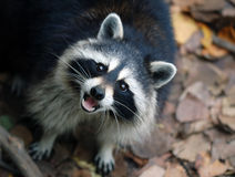 Raccoon (Procyon lotor) Stock Images