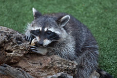 Raccoon Procyon Lotor Royalty Free Stock Images