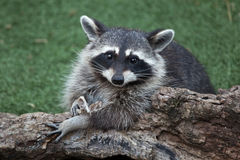 Raccoon Procyon lotor Royalty Free Stock Photos