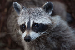 Raccoon Procyon lotor Stock Photography