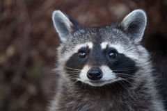 Raccoon Procyon lotor. Also known as the North American raccoon Stock Image