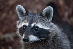 Raccoon Procyon lotor Royalty Free Stock Image