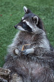 Raccoon Procyon lotor Stock Photo