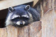 Raccoon Procyon lotor Stock Photos