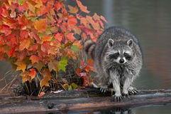 Raccoon (Procyon lotor) with Autumn Leaves Stock Images