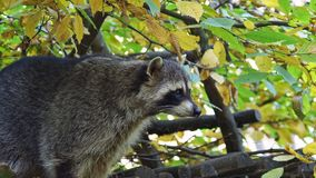 Raccoon Procyon lotor and autumn leaves in background. Also known as the North American raccoon.  stock footage