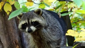 Raccoon Procyon lotor and autumn leaves in background. stock video footage